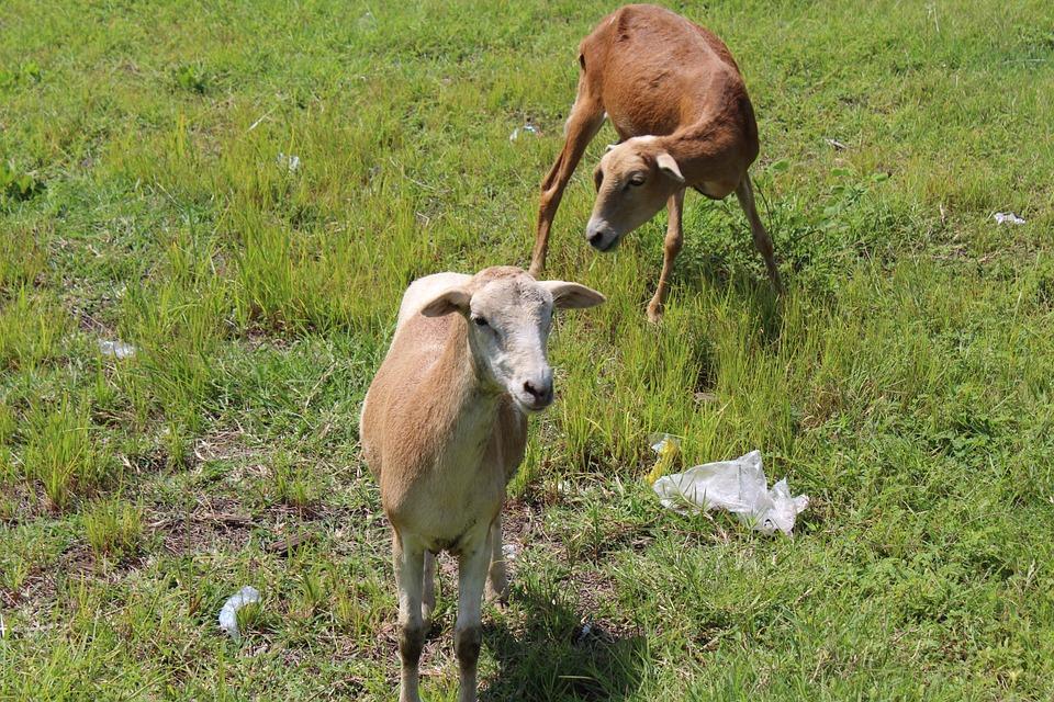 schapengras
